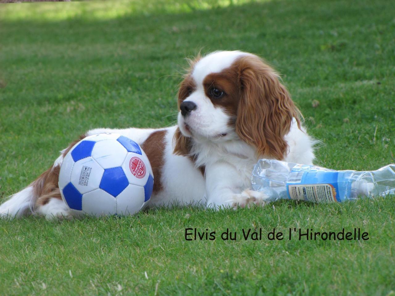 Elvis du Val de l'Hirondelle